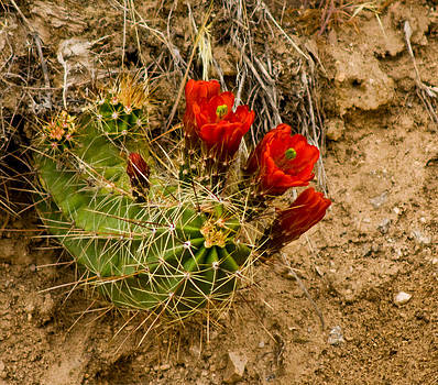 James Gay - Red Cactus Flower