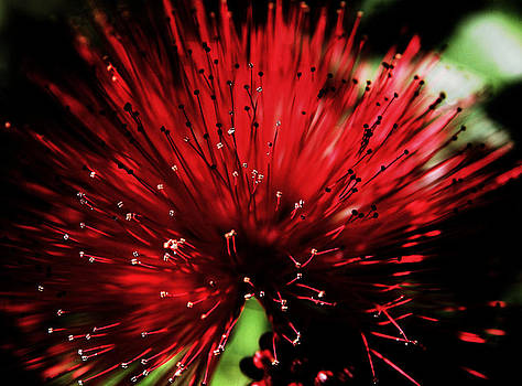 Red Calliandra by Ruediger Helmreich