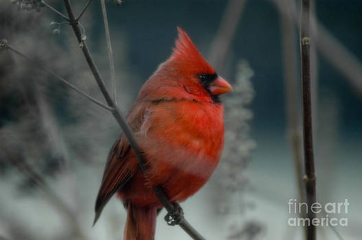Dale Powell - Red Cardinal