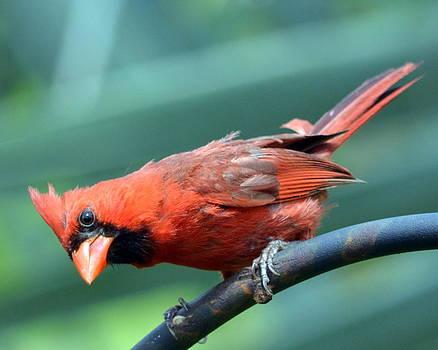 Red Cardinal by Diana Berkofsky