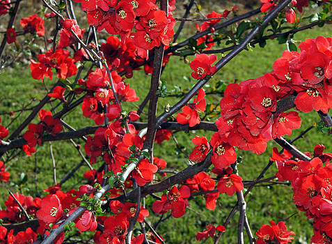 Red Cherry  by Debra Crank