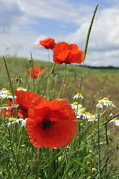 Red corn poppy and green meadow by Matthias Hauser