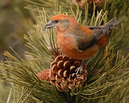 Red Crossbill by Amy Gerber