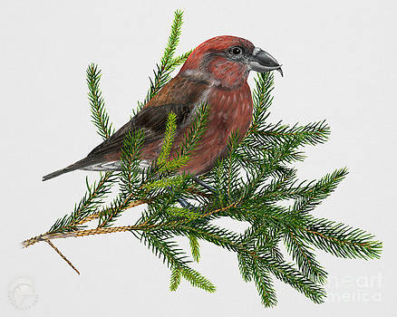 Red Crossbill -Common Crossbill Loxia curvirostra -Bec-crois des sapins -piquituerto -krossnefur  by Urft Valley Art