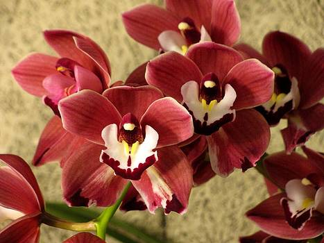 Alfred Ng - Red cymbidium orchid
