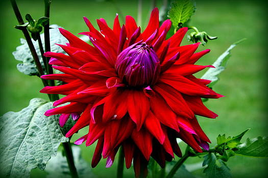 Donna Walsh - Red Dahlia