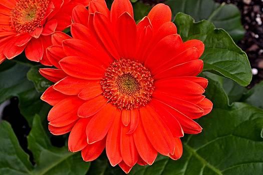 Red Daisy by Michael Sokalski