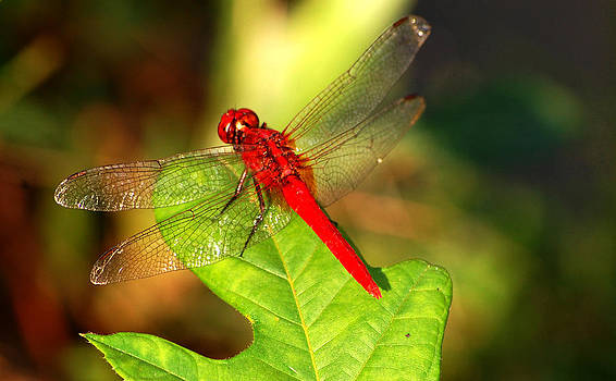 Red Dragonfly by Farah Faizal