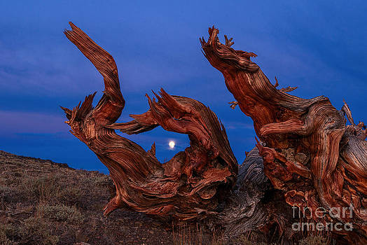 Jamie Pham - Red Dragon - Night view of the Ancient Bristlecone Pine Forest with the rising moon.