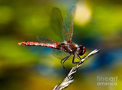 Mae Wertz - Red Dragonfly