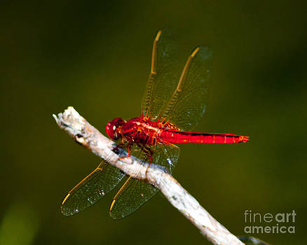 Stephen Whalen - Red Dragonfly