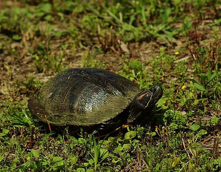 Red Ear Slider by Billy  Griffis Jr