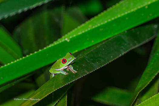Red-eyed Green Tree Frog by Sheen Watkins