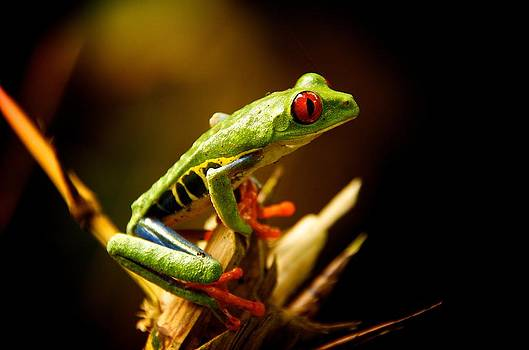 Red Eyed Leaf Frog by Gary Campbell
