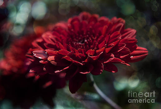 Red fall flower by Nicole Markmann Nelson