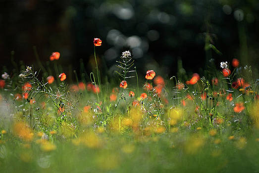 Red Field Poppies In The Beautiful by Nano Calvo