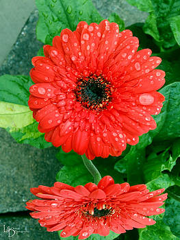 Red Flower by L and D Design Photography
