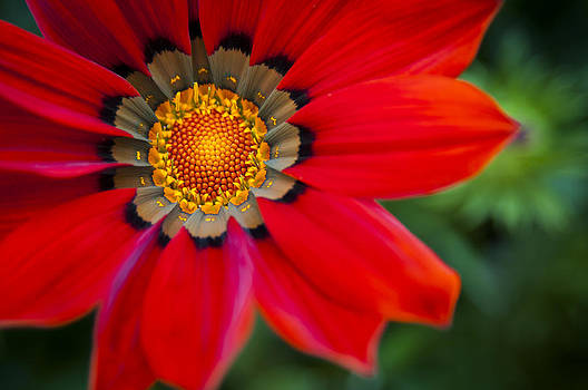 Red Flower of Africa by Chad Davis