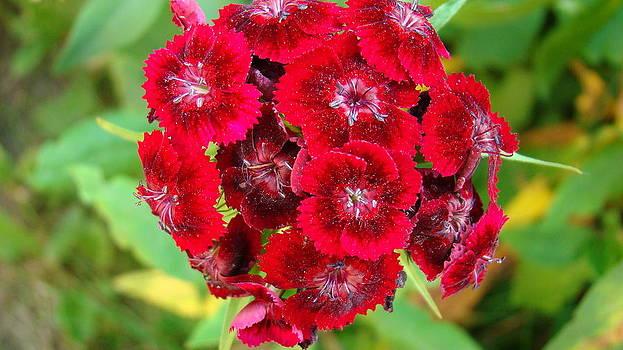 Red Flowers by Ionut Salavastru