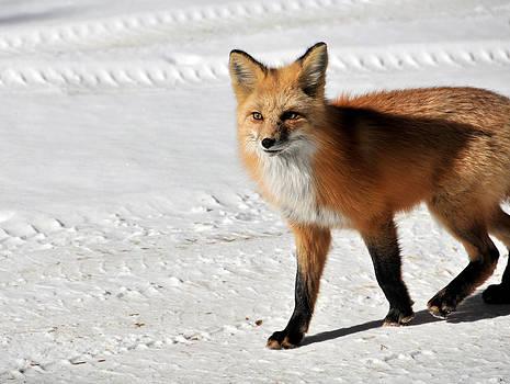 Matt Swinden - Red Fox 1