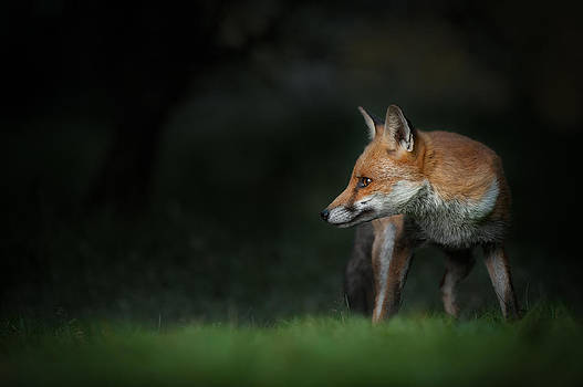Red Fox by Andy Astbury