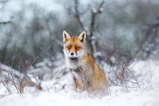 Red Fox Blue World by Roeselien Raimond