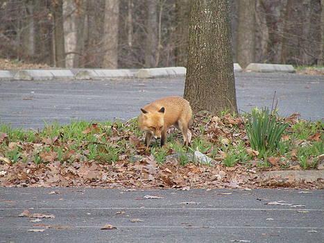 Red Fox Hunting by J C