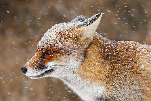 Red Fox in a Snow Storm by Roeselien Raimond