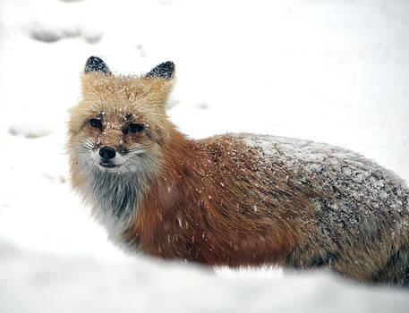 Matt Swinden - Red Fox in Snow 1