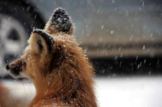 Matt Swinden - Red Fox in snow 2