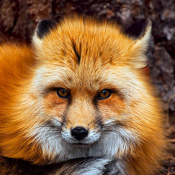 Red Fox by Jim Lucas
