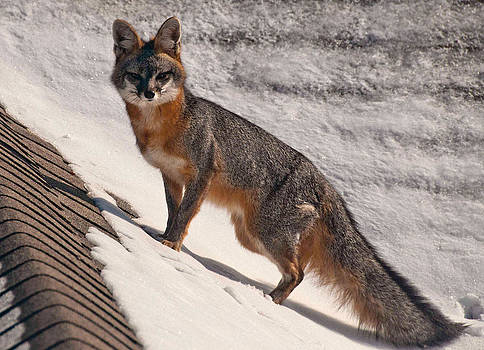 Mae Wertz - Red Fox