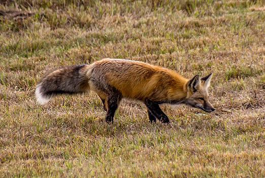 Randy Straka - Red Fox on the Prowl