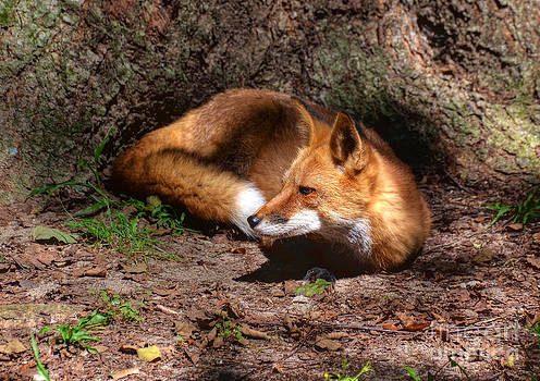 Red Fox Resting by Kathy Baccari
