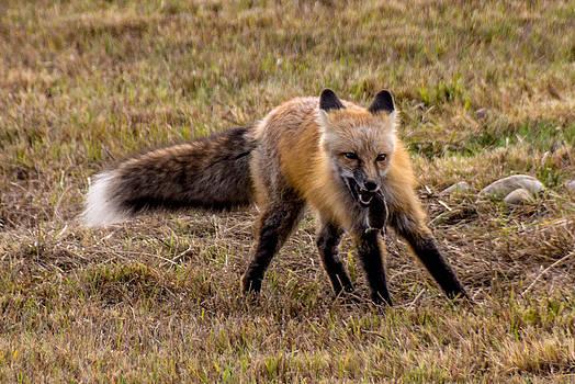 Randy Straka - Red Fox with Prey