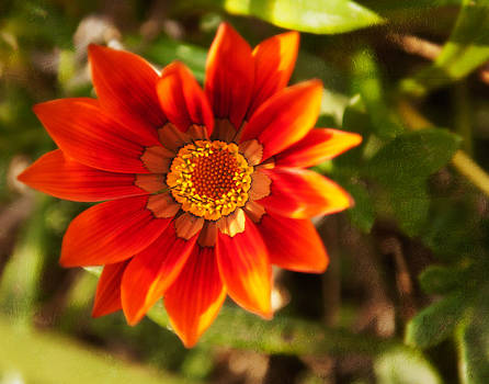Red gazania flower by Sammy Miller