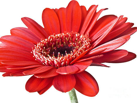 Red gerber daisy flower by Artecco Fine Art Photography