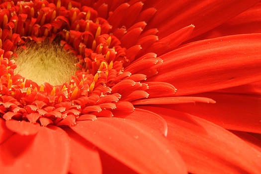 Red Gerber Daisy by Rob Whitney