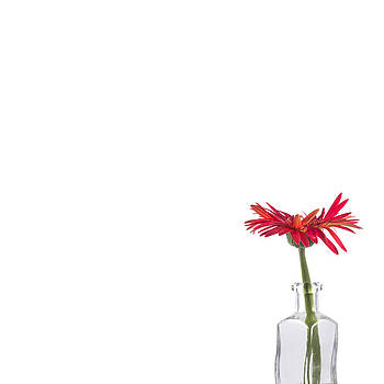 Jan Hagan - Red Gerbera Bloom