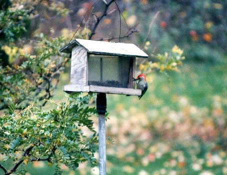 Linda Rae Cuthbertson - Red Headed Chickadee at Bird Feeder