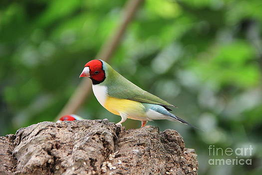 Red headed Gouldian Finch by Jackie Mestrom