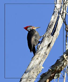 Red Headed Woodpecker by Susan Leggett