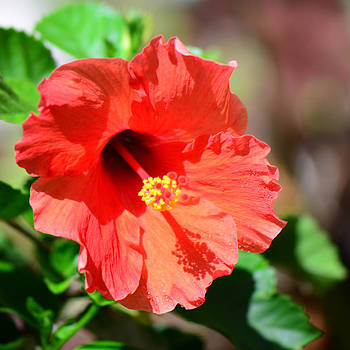 Connie Fox - Red Hibiscus Au Naturale