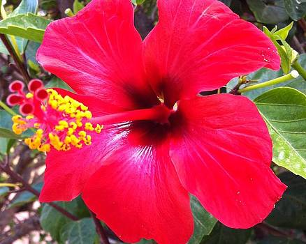 Red hibiscus by Beverly Little