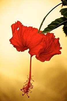Red Hibiscus Gold by Bonita Hensley