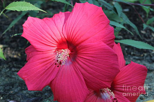 Red Hibiscus by Theresa Willingham