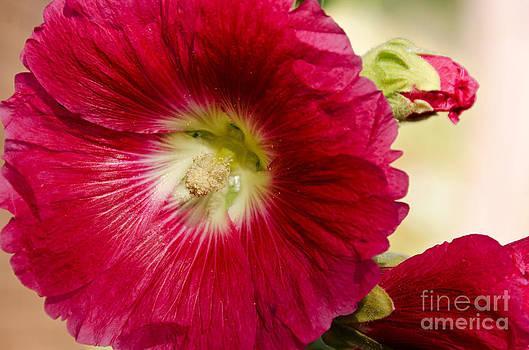Red Hollyhock Althaea rosea by Sue Smith