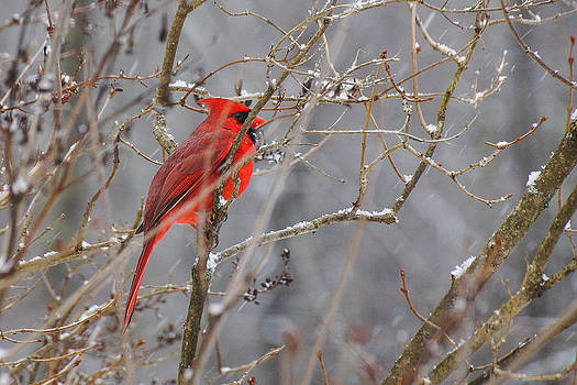 Red hot in a snowstorm by RockyBranch Dreams