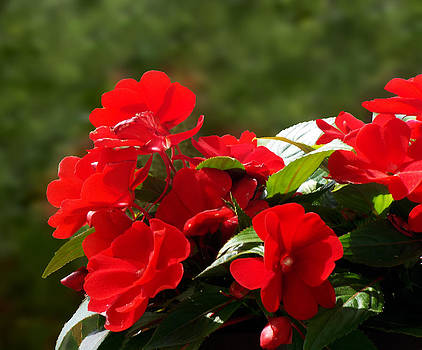Red Impatiens by Dawn  Gagnon