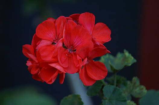 Red is My Blossom by Thomas D McManus